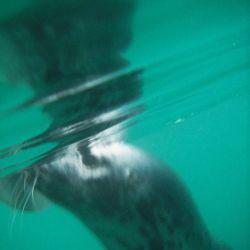 grey seal underwater